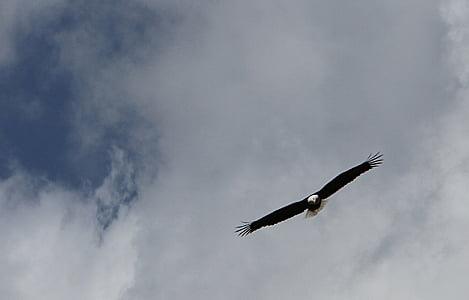 kalju kotka, Flying, taivas, pilvet, siivet, Predator, lintu