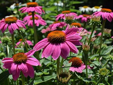 echinacea Rosa, Echinacea, flor de con, medicinals, jardí, l'estiu, flor