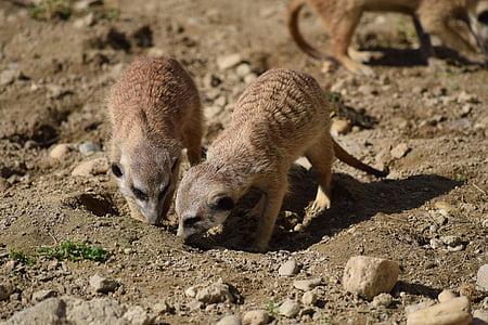 Meerkat, Zoo, looma, imetaja, Wildlife, loodus, Nunnu