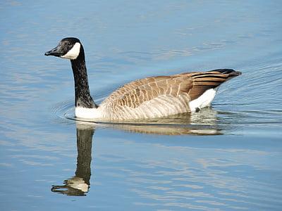 Snow goose, Kanadan snow goose, hanhi, lintu, Luonto, heijastus, vesi