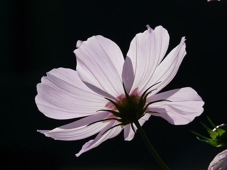 flower, blossom, bloom, light pink, cosmea, translucent, glazed includes through
