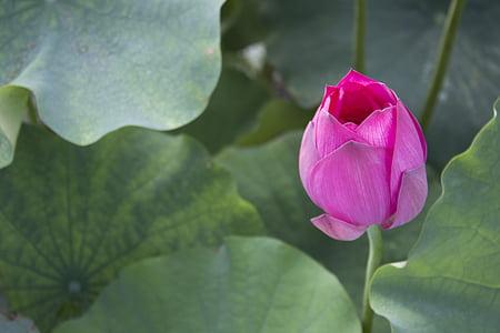 lotus, pond, lotus leaf, flower, petal, beauty in nature, nature