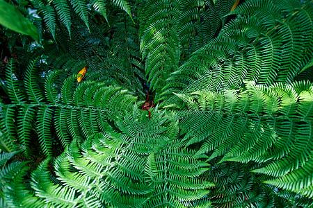 Falguera, fulles, verd, arbre de fulla perenne, natura, plantes