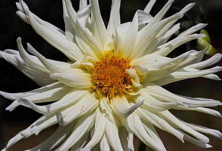 flor, dàlia, flor, flor, jardí de flors, blanc