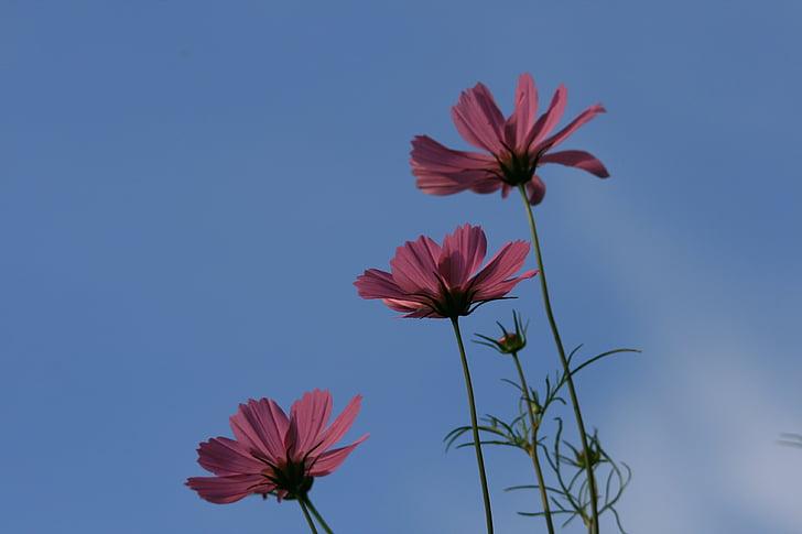 vodu, cvijeće, svemir, tri, roza, nebo, plava