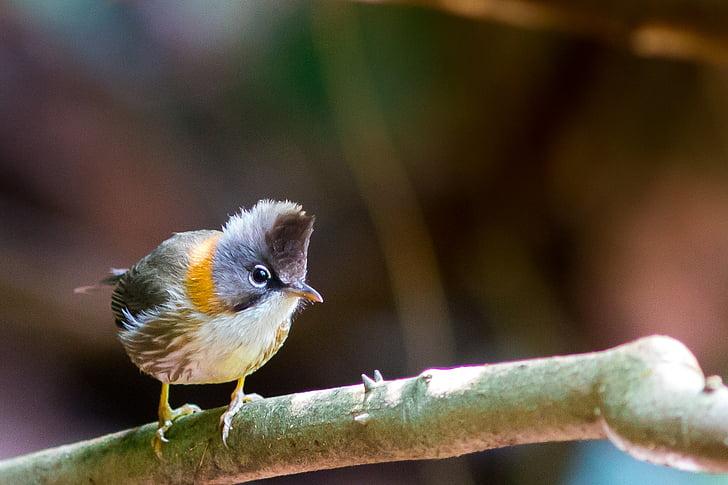 ocells de mt cresta, Doi phu kha, aus silvestres, ocell, temes d'animals, vida animal silvestre, animals en estat salvatge