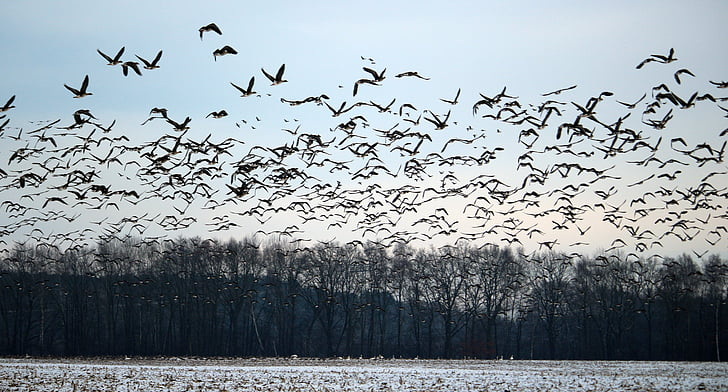 ห่านป่า, ฝูงนก, ฤดูหนาว, หิมะ, นกอพยพ, รุม, ห่าน