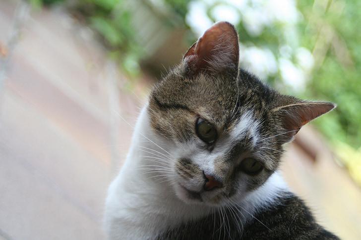 cat, tiger, animal world, head, cat face, striped, domestic cat