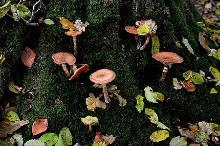 bolets, molsa, fulles, bosc, sotabosc, tronc d'arbre