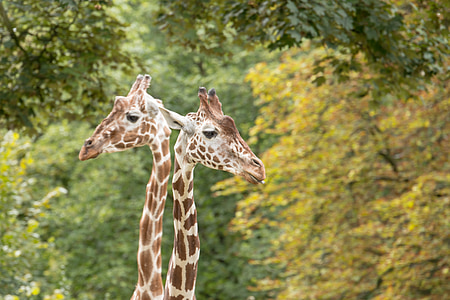 giraffes, neck, giraffe neck, zoo, animal, nature, mammal