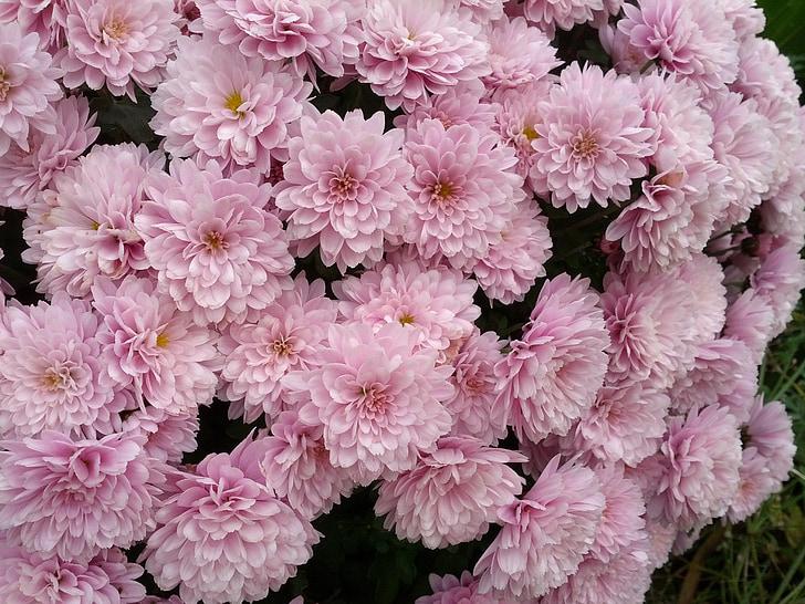 Chryzantema, kwiaty, liliowy