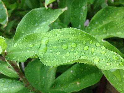 planta, gota, gota d'aigua, pluja