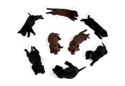 puppies, black, brown, labrador, retriever, dog, puppy