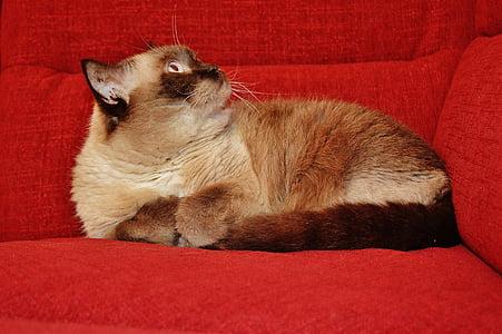 cat, british shorthair, mieze, blue eye, thoroughbred, dear, sweet