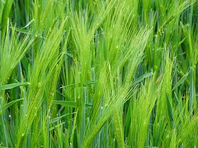 pšenica, EPI, obilniny, poľnohospodárstvo, kukuričnom poli, pole, pšeničné polia