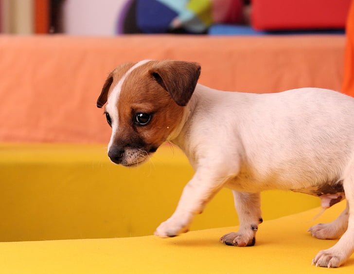hond, puppy, Jack russell, Chihuahua, baby, schattig, speelse
