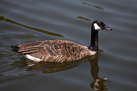 животните, клюн, птица, Черно, кафяв, Канада, канадски