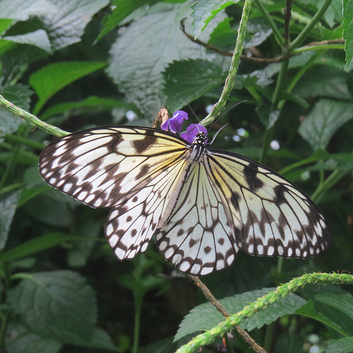строкатими fritillary, Метелик, строкаті метелики крилаті, екзотичні, Тропічна, літаючих комах