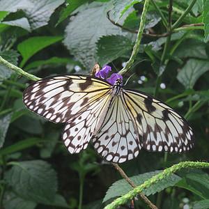 kirjava Tunturi, perhonen, kirjava siivekäs perhonen, eksoottinen, Tropical, lentävät hyönteiset