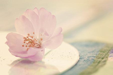 flower, blossom, bloom, cherry blossom, plant, close, summer