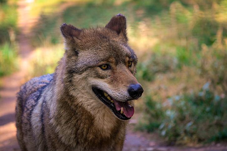 wolf, zoo, gray wolf