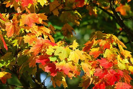 το φθινόπωρο, δέντρο, φύλλα, κόκκινο, Φθινοπωρινό δάσος, Χρυσή φθινόπωρο, φύλλωμα πτώσης