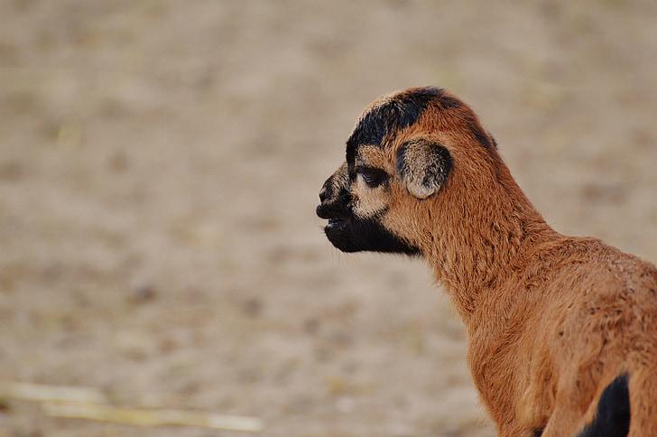 ovelles, wildpark poing, reneix, animal jove, nadó, valent, món animal