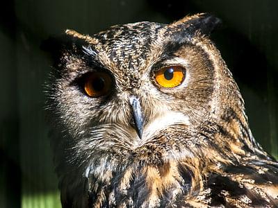 бухал, бухал, птица, природата, животните, дива природа, месоядни птици