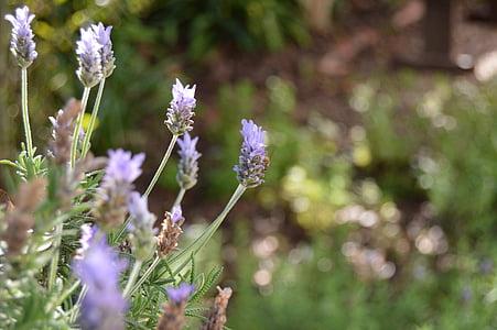 lavendel, hage, natur, Herb, grønn, urte, botaniske
