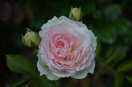 上升, 花, 开花, 绽放, 玫瑰绽放, 玫瑰绽放, 粉色