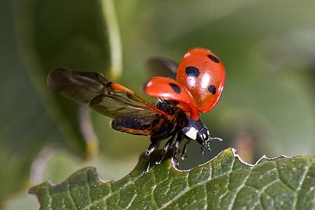 bọ rùa, chuyến bay, bọ cánh cứng, côn trùng, vĩ mô, tờ, Thiên nhiên