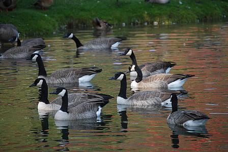 ocells, salvatge, oques en estany