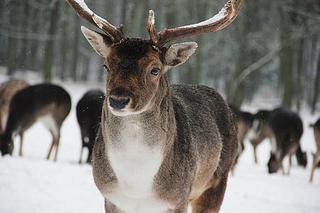 Metsä, Wild, Deer, Hirsch, eläinpuisto, käynnissä, Sakara
