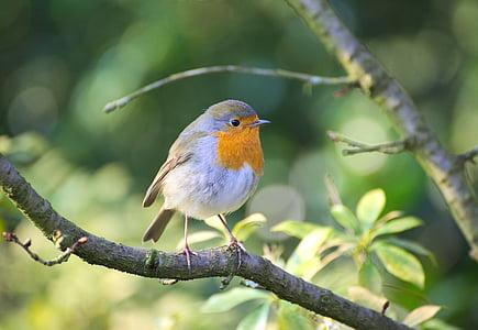 robin, bird, garden, erithacus rubecula, close, small bird, small