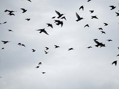 นกอพยพ, ฝูงนก, จ้องมอง, ดาวบิน, วิง, ออกจาก, สัตว์