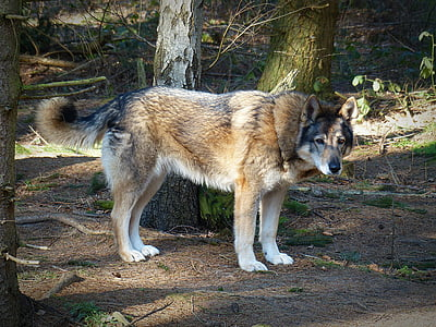 wolf, wild animal, predator, carnivores, animal world, wildlife photography, endangered