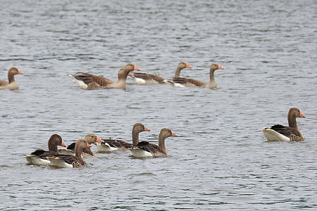 waterfowl, geese, lake, nature