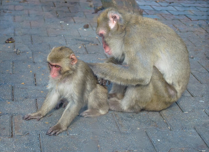 mico, jove, zoològic, mico amb un cadell, l'atenció