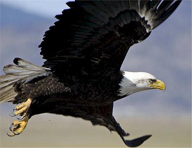 Eagle, kalju, Flying, Raptor, lintu, Luonto, Wild