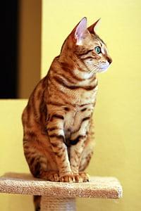 cat, bengali, pet, bengal, beautiful, sitting, domestic Cat