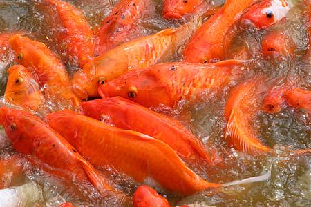 peix, Koi, natura, carpa, taronja