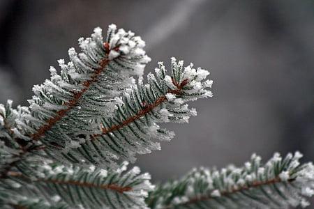 nõelad, talvel, külmutatud, jäätumine, valged, Frost, külm