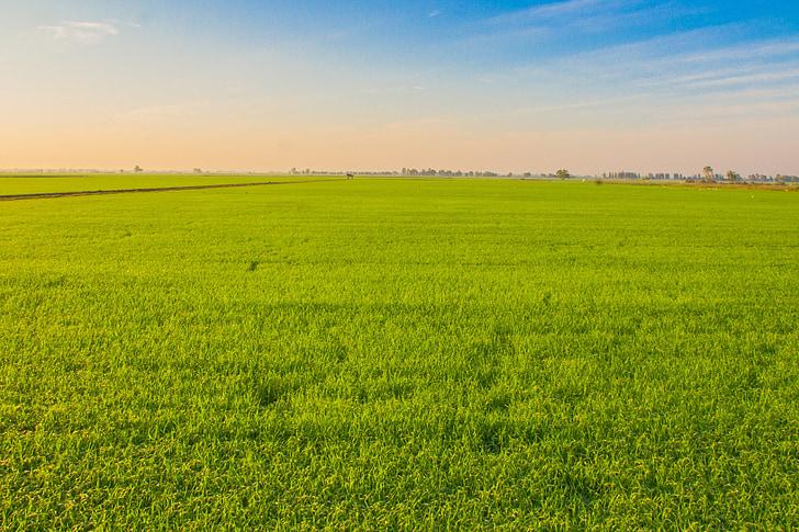 rice, image view, cornfield, field, farmland