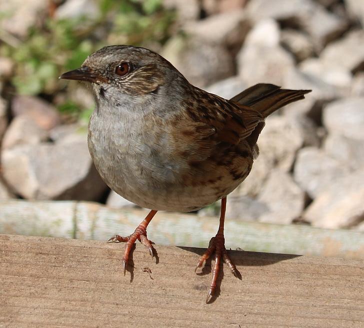 Сивогуша завирушка, песента птица, птица, градински птица