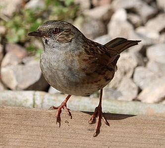 Heckenbraunelle, Song-Vogel, Vogel, Gartenvogel