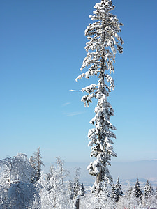 snow, tree, winter, wintry, fir, cold, winter mood