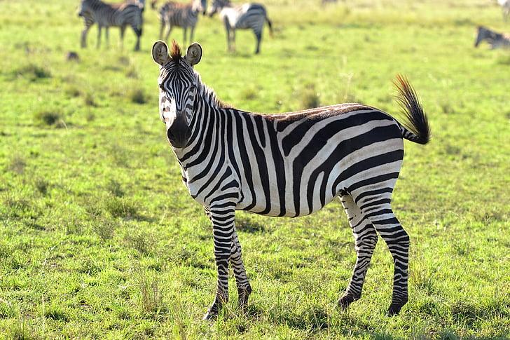 zvieratá, divoké zviera, Zebra, zebry, pruhované, tráva, zvieratá v divočine
