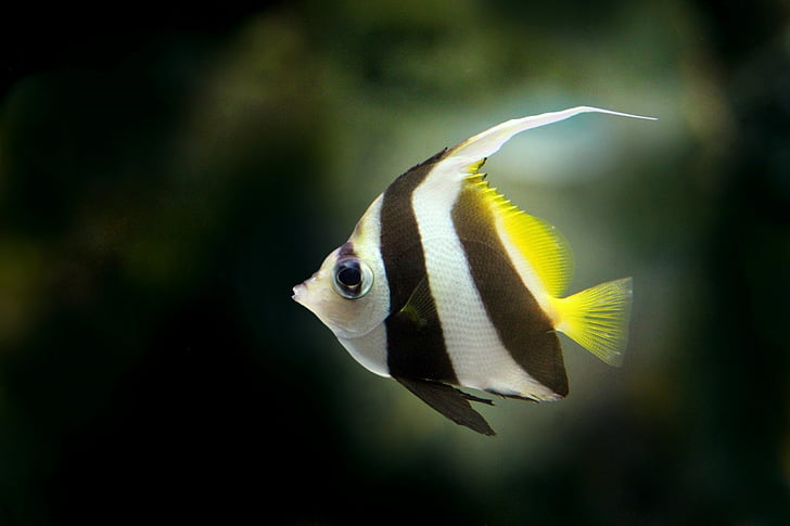 Рыбка скалярия, Рыба, пресноводные рыбы, Красивая рыба, плоские рыбы, водные, Аквариум