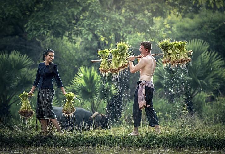 kjæledyr, Golf, med vekst, høsting, håper, Myanmar burma, ris skorpe