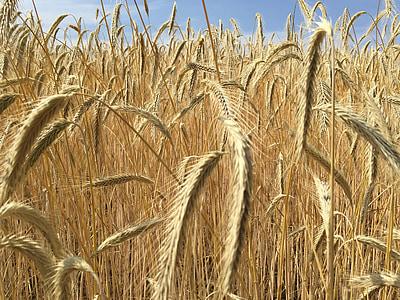 blat, cereals, espiga, camp, tuds